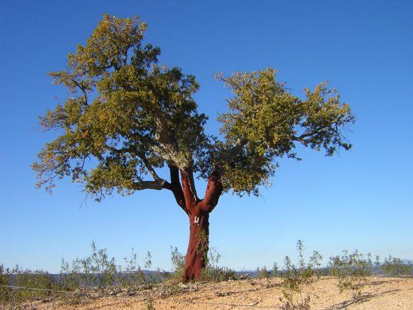 cork-tree.jpg